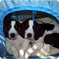 Adopt A Pet :: Bernese puppies - Scottsdale, AZ