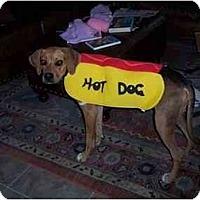 Adopt A Pet :: Katie - Scottsdale, AZ