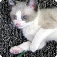 Adopt A Pet :: Macaroon - Davis, CA