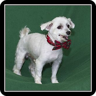 maltese rescue san diego san diego ca maltese meet carlino a dog for adoption 9190