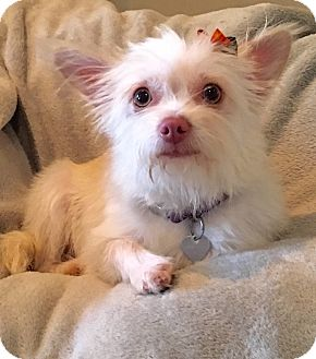 Yorkie, Yorkshire Terrier/Maltese Mix Dog for adoption in San Pedro, California - Savannah