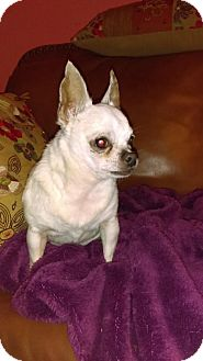 Chihuahua Dog for adoption in Tampa, Florida - Chalupa