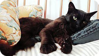 Domestic Longhair Cat for adoption in San Bernardino, California - Gummy Bear