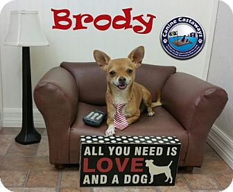 Chihuahua Dog for adoption in Arcadia, Florida - Brody