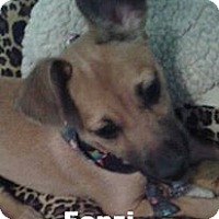 Chihuahua/Terrier (Unknown Type, Medium) Mix Puppy for adoption in Modesto, California - Fonzi $50 adoption special)