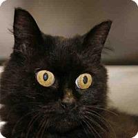 Munchkin Cat for adoption in Decatur, Illinois - WEENSEY