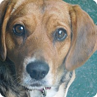 Beagle Dog for adoption in Millerstown, Pennsylvania - VICKI