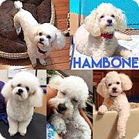 Adopt A Pet :: Hambone - Little Rock, AR