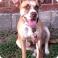 Boxer/Labrador Retriever Mix Dog for adoption in Huntingdon, Tennessee - Faith
