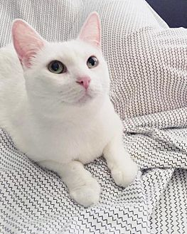 Domestic Shorthair Cat for adoption in Chino Hills, California - Blossom