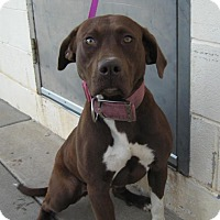Labrador Retriever/Pit Bull Terrier Mix Dog for adoption in Stillwater, Oklahoma - Candy Kisses