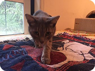 Domestic Shorthair Cat for adoption in Columbia, Maryland - Pickles