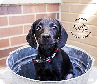 Labrador Retriever/Terrier (Unknown Type, Medium) Mix Puppy for adoption in Mooresville, North Carolina - Kooky (Addams Family Litter)