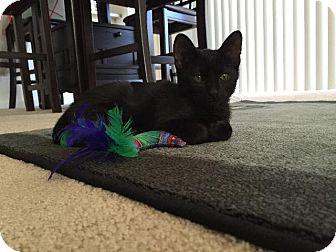 Domestic Shorthair Kitten for adoption in Oxnard, California - Binx