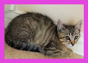 Domestic Shorthair Kitten for adoption in Euless, Texas - Kitten - June Bug