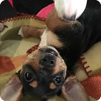 Adopt A Pet :: DiNozzo - Las Vegas, NV