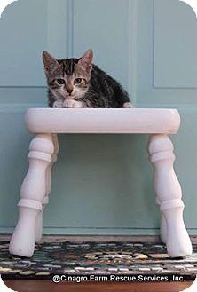 Domestic Shorthair Kitten for adoption in Leesburg, Florida - Evee