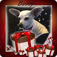 Terrier (Unknown Type, Medium)/Chihuahua Mix Dog for adoption in Genoa City, Wisconsin - Buddy
