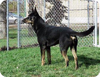 German Shepherd Dog Mix Dog for adoption in Van Wert, Ohio - Joey