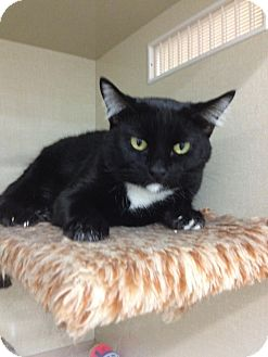 Domestic Shorthair Cat for adoption in Chandler, Arizona - Rocco