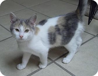 Domestic Shorthair Kitten for adoption in Byron Center, Michigan - Taelyn