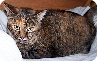 Domestic Shorthair Cat for adoption in Salem, Ohio - Rani