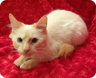 Siamese Kitten for adoption in Bentonville, Arkansas - Cheeto
