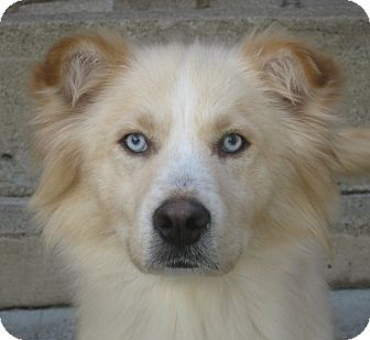 Husky/Golden Retriever Mix Dog for adoption in Chicago, Illinois - Ida