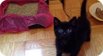 Domestic Shorthair Kitten for adoption in Brooklyn, New York - Holmes