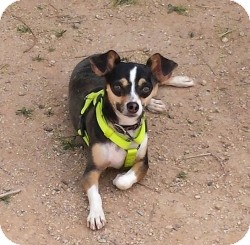 Chihuahua/Dachshund Mix Puppy for adoption in Mesa, Arizona - Beese