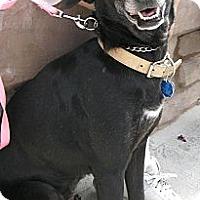 Adopt A Pet :: Latika - Phoenix, AZ
