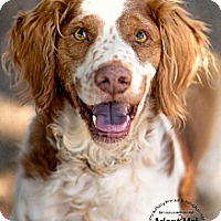 Brittany Dog for adoption in Dansville, New York - AZ/Calvin