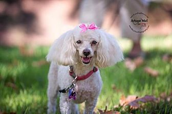 Poodle (Miniature) Dog for adoption in Rancho Santa Margarita, California - Sugar