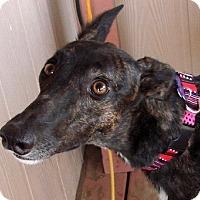 Adopt A Pet :: Gidget - Tucson, AZ