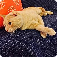 Adopt A Pet :: Zoolander - Addison, IL