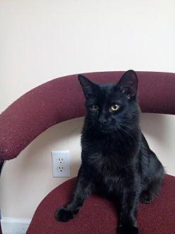 Domestic Shorthair Cat for adoption in Cincinnati, Ohio - zz 'Shadow' courtesy listing
