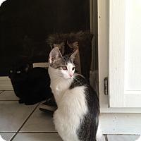 Domestic Mediumhair Cat for adoption in Warren, Michigan - Tilley