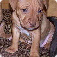 Adopt A Pet :: Cayleigh - Framingham, MA