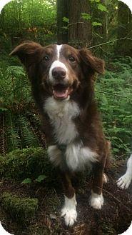 Australian Shepherd/Border Collie Mix Dog for adoption in Seattle, Washington - May