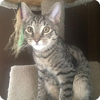 Domestic Shorthair Cat for adoption in Hamilton, Ontario - Roarke
