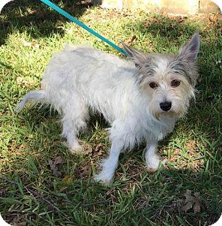 Westie, West Highland White Terrier Mix Dog for adoption in McKinney, Texas - Fantasia
