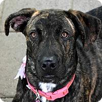 Adopt A Pet :: Sadie - Pontiac, MI