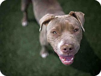 Pit Bull Terrier Dog for adoption in Bonita, California - CAILIN