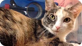 Calico Cat for adoption in Seattle, Washington - Silvia