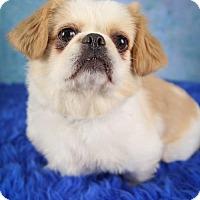 Pekingese/Japanese Chin Mix Dog for adoption in Inver Grove, Minnesota - Mugsy