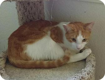 Domestic Shorthair Cat for adoption in Lawton, Oklahoma - LYLL
