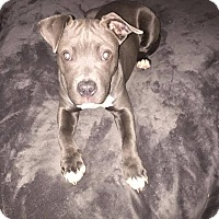 Adopt A Pet :: Blue Ivy - West Allis, WI
