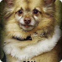 Adopt A Pet :: Niko - Anaheim Hills, CA