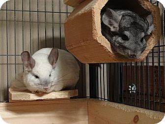 Chinchilla for adoption in Virginia Beach, Virginia - Ra & Anubis