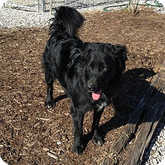 Flat-Coated Retriever Mix Dog for adoption in Russellville, Kentucky - Curly
